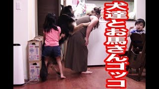 ジャーマンシェパード犬マック 秋田犬惣右介 今日は孫の響が夕食遅い100...