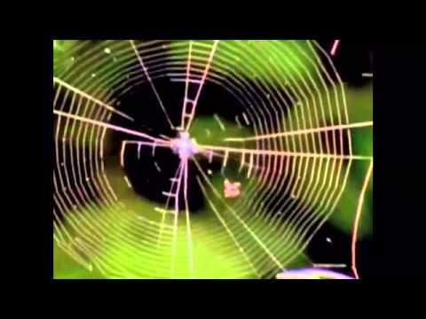 Keçi Sütünden Örümcek Ağı Üretilir Mi?