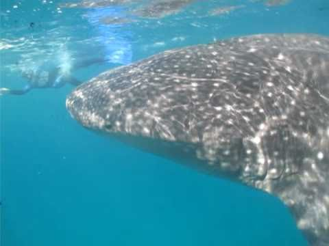 Whale Shark @ Limasawa Island, Southern Leyte, Philippines