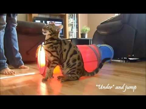 Bengal cat doing tricks