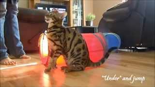 Moogly,the Bengal, Amazing Cat Tricks