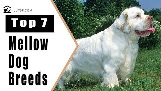 Top 7 Mellow Dog Breeds