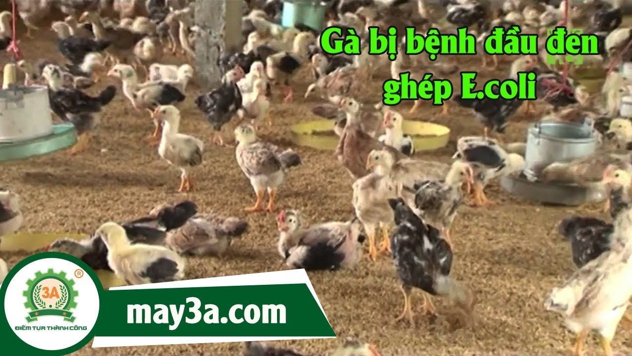 Gà bị bệnh đầu đen ghép E.coli – bệnh nguy hiểm trên gà