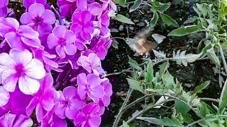 """""""Северная колибри"""" залетела на дачу к нашей читательнице и оказалась... бабочкой"""