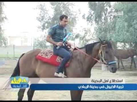 استطلاع اهل المدينة  - تربية الخيول في مدينة الرمادي ليوم 18-9-2013