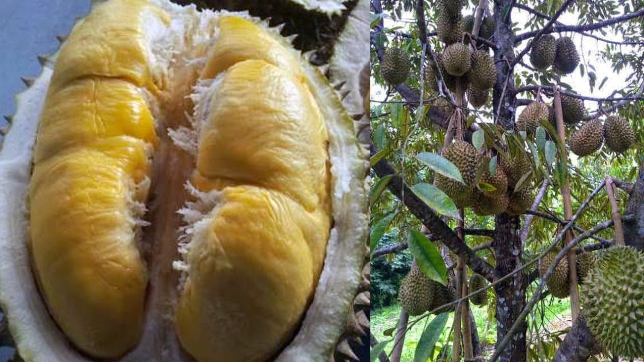 Dikira Bau Gas, Aroma Durian Paksa Pemadam Kebakaran Lakukan Evakuasi