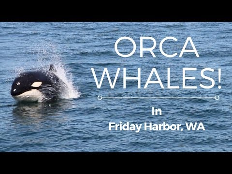 Orca whales in Friday Harbor, WA