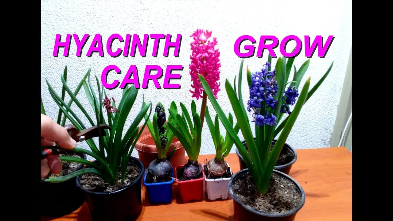 How to care for hyacinth