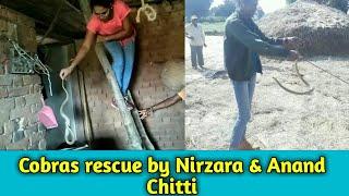 || ऐसे नाग पकडनेके लिये आप का अनुभव बड़ा होना चाहिये || cobras rescue by Nirzara and Anand Chitti ||