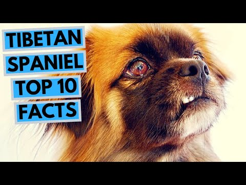 tibetan-spaniel---top-10-interesting-facts
