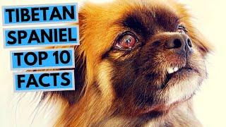 Tibetan Spaniel  TOP 10 Interesting Facts