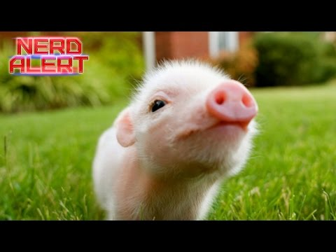 Don't Fall For The Teacup Pig Scam