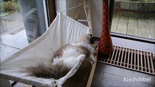 Meet Timo, the one and only  hammock cat (4 minutes of fun)