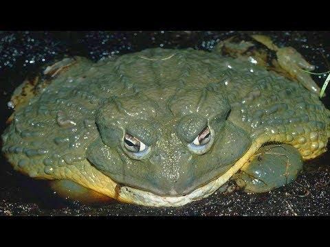 ОЧЕНЬ БОЛЬШИЕ ЛЯГУШКИ И ЖАБЫ! Интересные лягушки