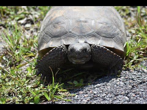 Gopher Tortoise Of Florida