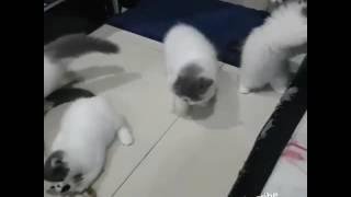 Gambar cover Kumpulan Video Kucing Exotic ( Exo Cat )