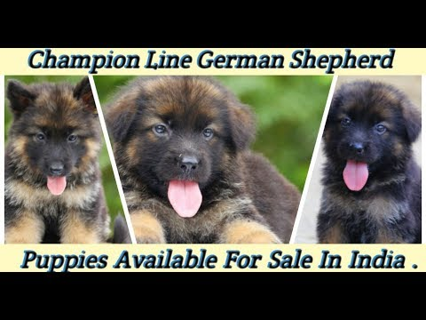 Repeat German Shepherd Puppy For Sale [Only 15000