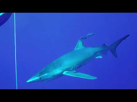 Blue Shark. Azores.Portugal. Scuba dives with Blue Sharks. Atlantic Ocean.
