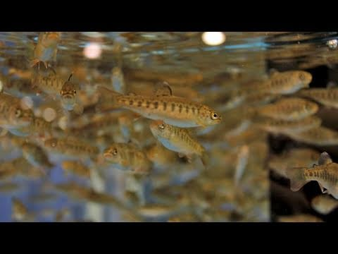 Fishing with Rod:  Breeding cutthroat trout