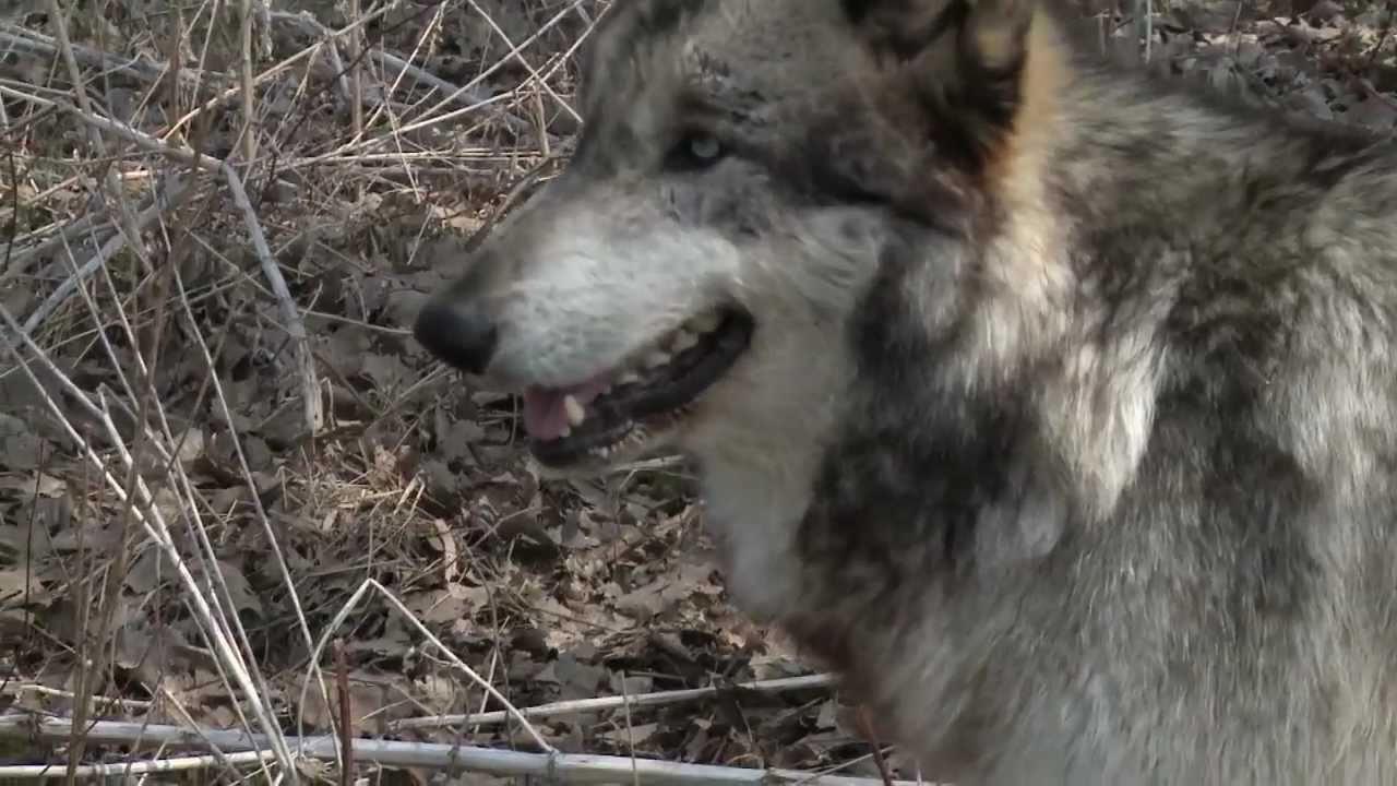 Wolf Park In Battle Ground Indiana Youtube