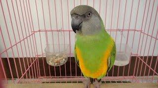 塞內加爾鸚鵡-檸檬(第2天)-學說話和小鸚玩親親~喇吉103.10.20