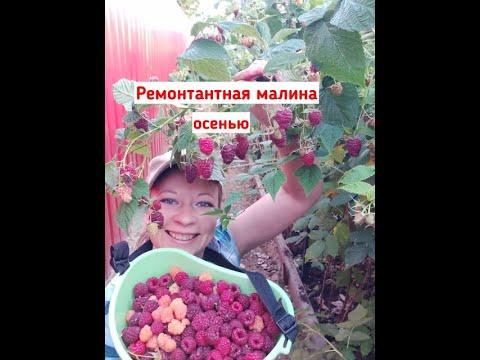 Малина ремонтантная: как обрезать малину, чем подкормить малину, малина осенью