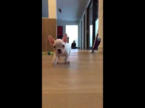 Cute French Bulldog playing