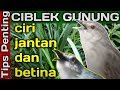 Ciri Ciblek Gunung Jantan Betina Tips Penting  Mp3 - Mp4 Download
