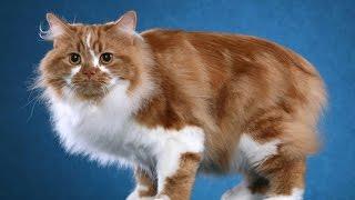 Кимрик - то ли кошка то ли кролик