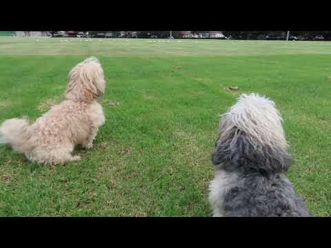 Havanese dogs. Toooo much fun in the park...