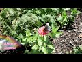 How to Grow Beautiful Zinnias, Easy to Grow, Seed to Kitchen!