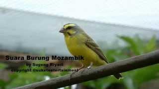Suara Burung Mozambik