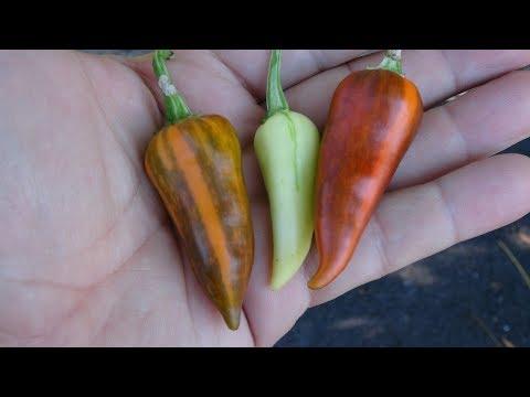 ⟹ Fish Pepper | Capsicum Annuum | Pod Review 2020