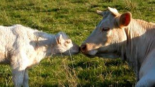 La Vache et le Veau