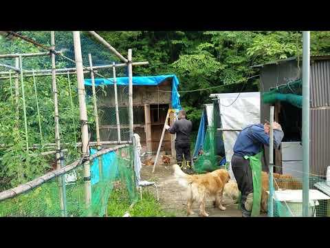 (2)新装開店女子寮(鶏小屋)工事開始、ゴールデンレトリバーとジイチャンもお手伝い