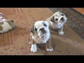 Study Prep Pets   Funny Pet Video Compilation 2017