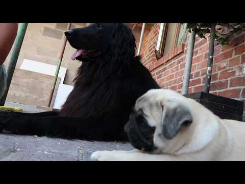 Pug puppy meets flat coated retriever!