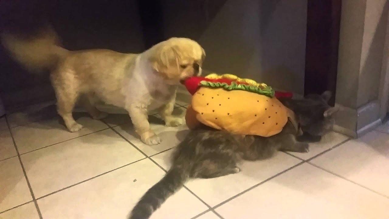 Cat Eat Hot Dog