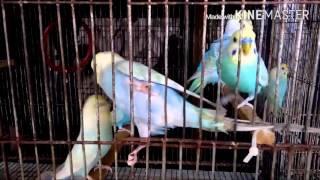 4750a7ad44f8 Rainbow Budgie Ollie - Playing   Talking - Видео с YouTube на ...