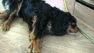 Deel 2: Episodic Falling Syndrome Cavalier King Charles Spaniel Zano