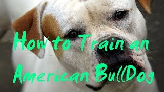 How to Train an American BullDog - How to Potty Train an Ameri…