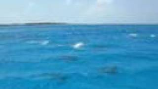 Spinner Dolphins of Midway Atoll