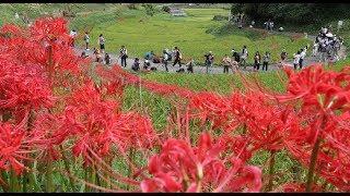 奈良県明日香村の稲渕地区でヒガンバナが見ごろを迎えている。 棚田のあ...