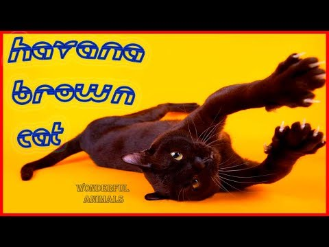 Havana Brown cat breed Show video | FunnyCat TV