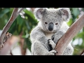 Cute Koalas Playing 🐨 Funny Koala Bears Funny Pets