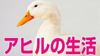 今日からアヒルになります - Duck Life thumbnail