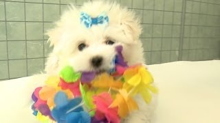 Ridiculous Maltese Puppies Go To Hawaii