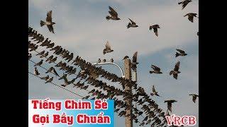 Tiếng chim sẻ gọi bầy chuẩn và cực nhạy, gọi là cả đàn bay đến - Vua Rừng Cát Bà