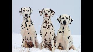 Chó đốm Dalmatians huấn luyện tại nhà dễ thương