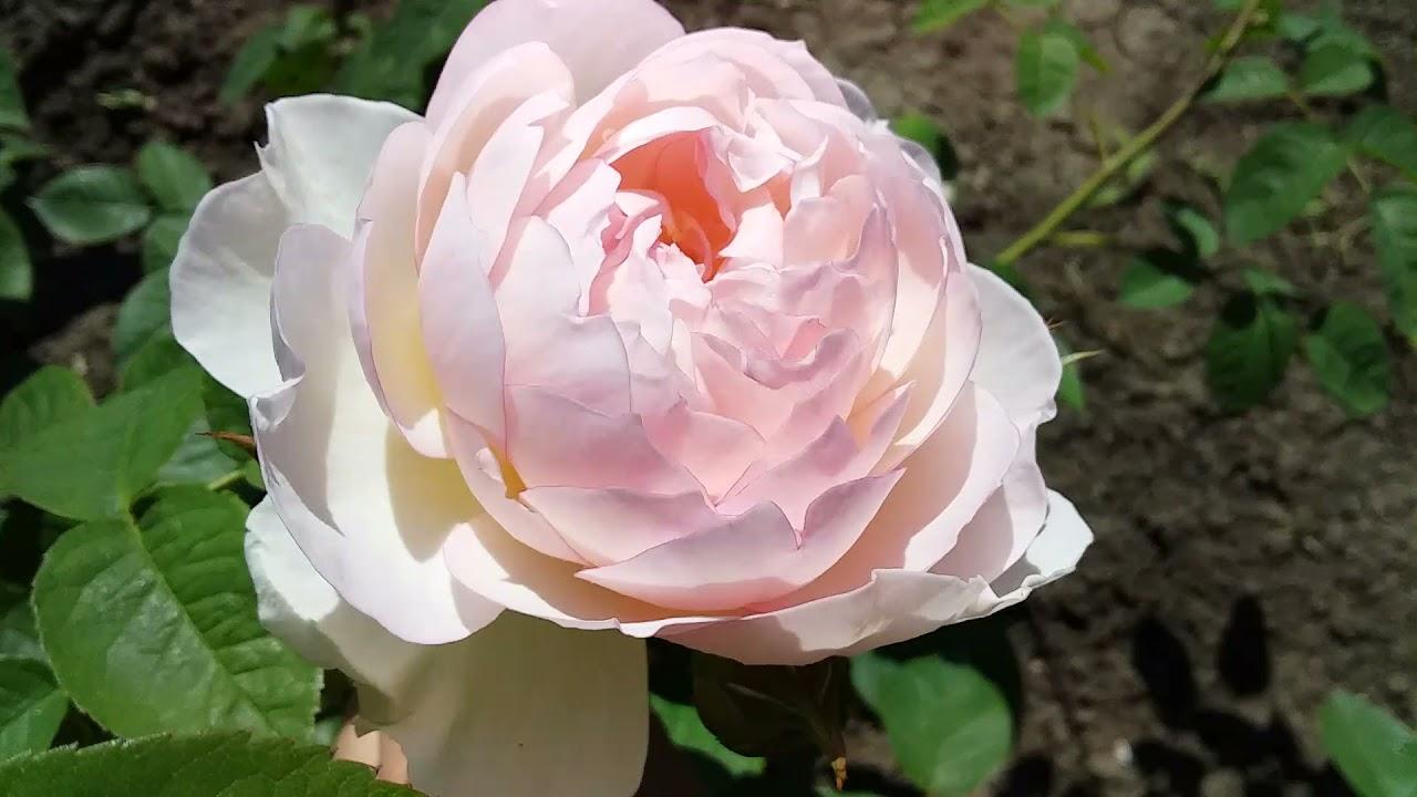 Цветение роз начало часть 1